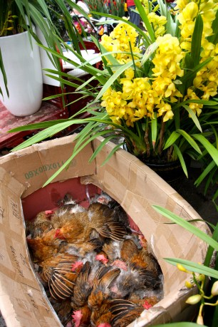 Cymbidium Orchids and of course a box of chickens...