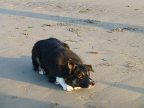 Collies focused on their balls