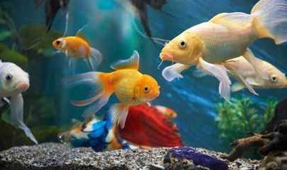 Justiça Estadual é competente para julgar maus tratos a peixes ornamentais