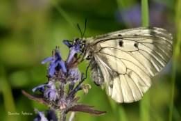 Fluture apolonul negru (Parnassius mnemosyne