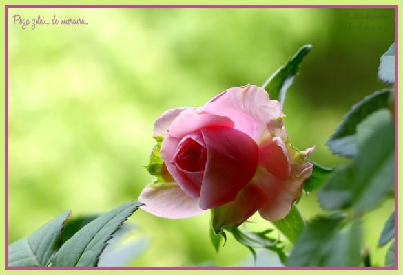 Trandafirul de pe pervaz