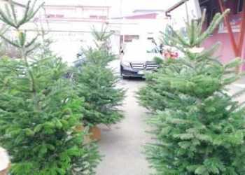 Peste 42.000 de pomi de Crăciun - scoși la vânzare de Regia Națională a Pădurilor – Romsilva 4