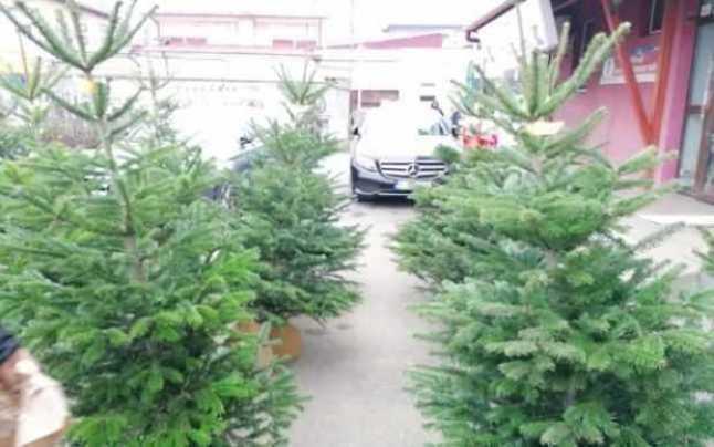 Peste 42.000 de pomi de Crăciun - scoși la vânzare de Regia Națională a Pădurilor – Romsilva 1
