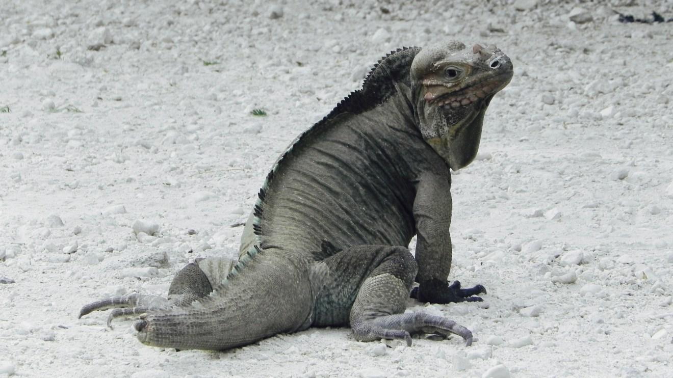 Leguan Lago Enriquillo