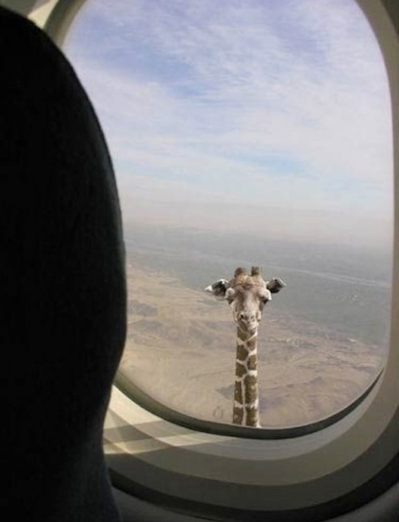 That's One Tall Giraffe