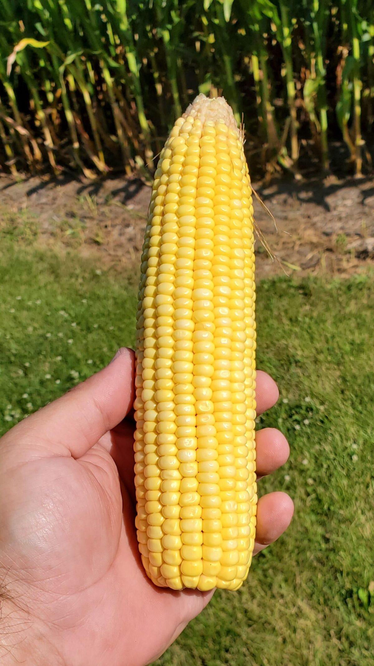 2021 Corn Ear
