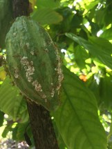 Green Tree Ants farming their mealy bugs on a cocoa pod