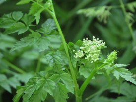 06-08-13_wf_Pacific_Water_Parsley_e