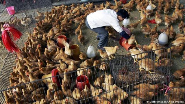 A vendor picks chickens for customers at a poultry wholesale market in Wuhan, China