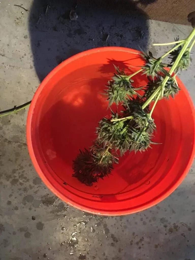 Washing Cannabis Buds