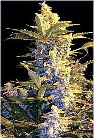Mi5 Auto Flower Cannabis