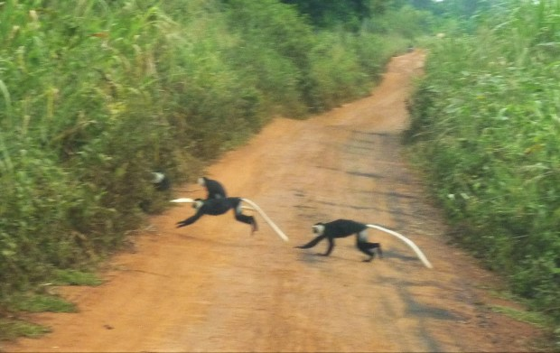 black and white colobus monkeys ghana