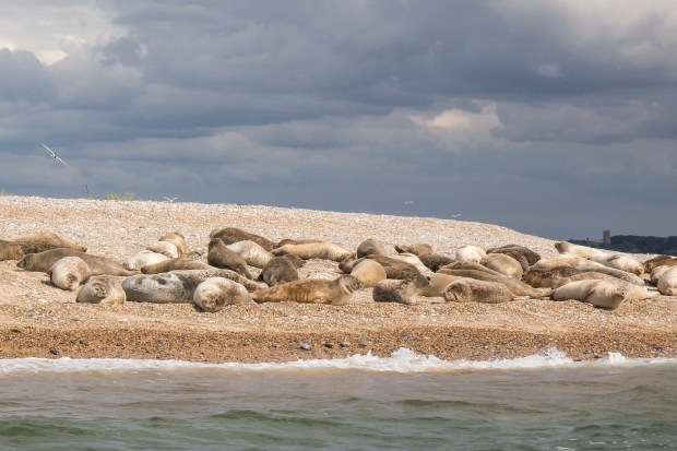 seals_in_norfolk