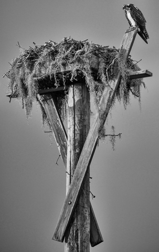 If you're an Osprey and you live in Florida, you've got it made. We love our Osprey and to show our appreciation we build these platforms high up on poles everywhere. As in everywhere and anywhere; ...cell towers, transmission lines, out in fields, in all the parks, everywhere. This one is near my house and I drove right by as I looked up, put on the brakes, backed up, picked up my camera and said good morning. This guy just stared at me and wondered what the heck I was doing in his territory. Silly me.