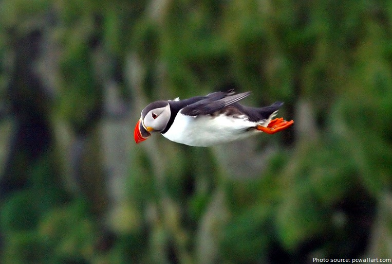 Image result for flying puffins