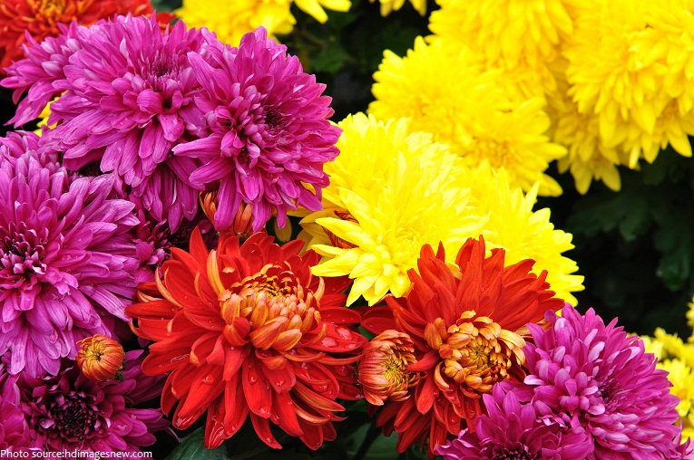 Interesting facts about chrysanthemums   Just Fun Facts chrysanthemums 2
