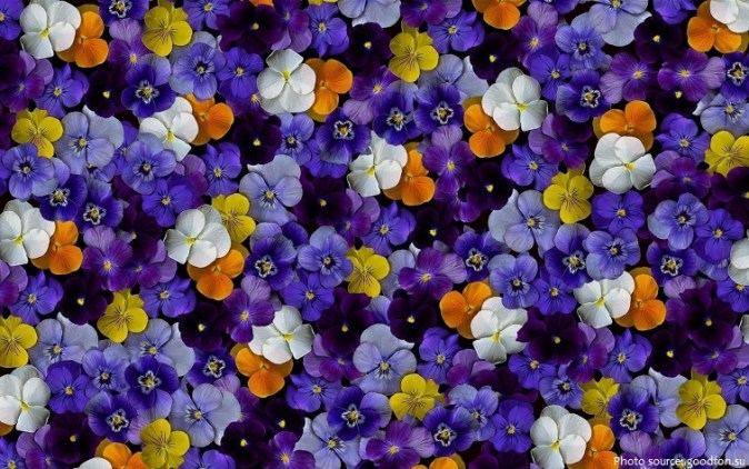 Interesting facts about violets   Just Fun Facts violet flowers