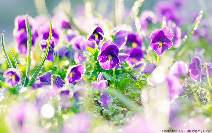Interesting facts about violets   Just Fun Facts violets 2