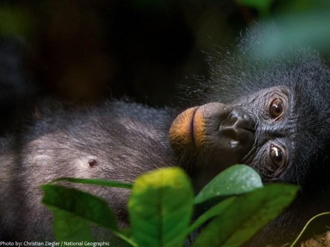 bonobo-4