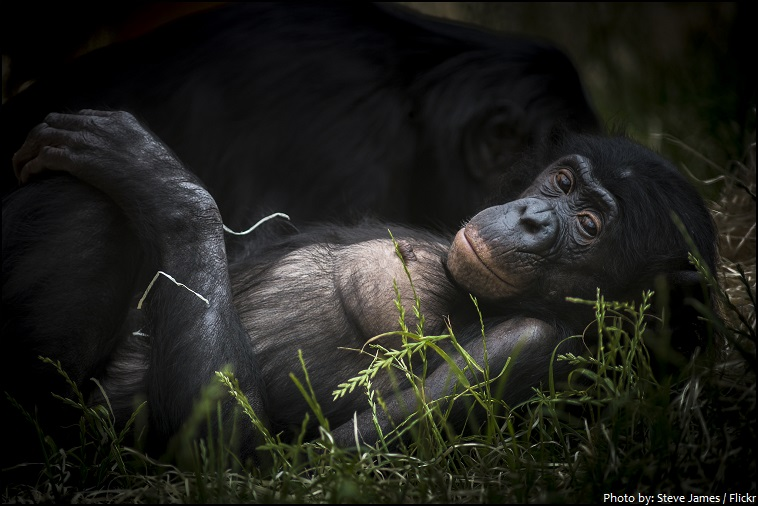 bonobo - Interesting facts about bonobos
