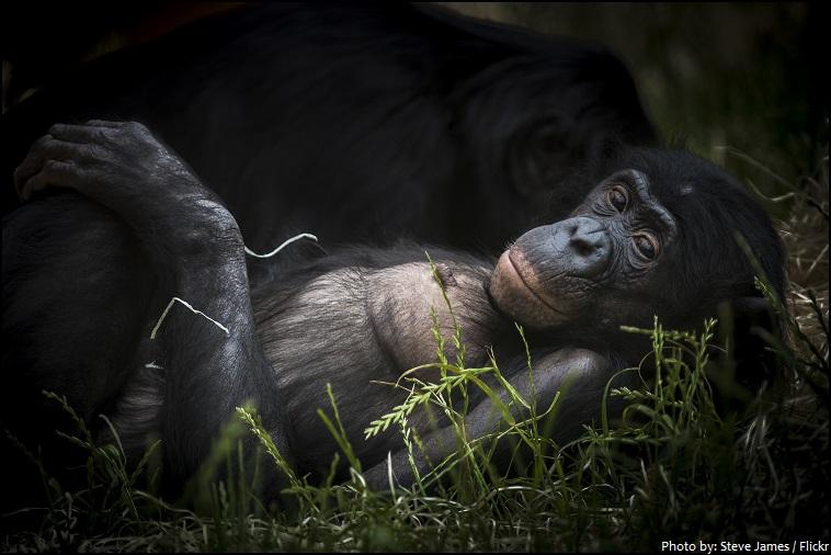 bonobo - Interesting facts about bonobos