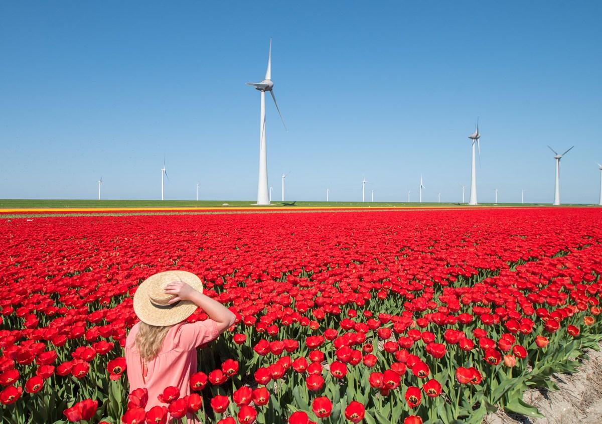 De tulpenroute in de Noordoostpolder van Flevoland