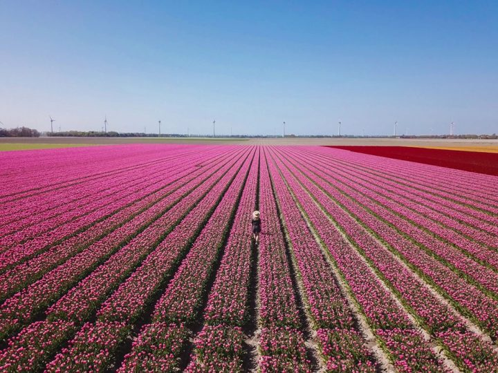 tulpenroute noordoostpolder flevoland