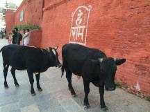 cows on the streets of kathmandu