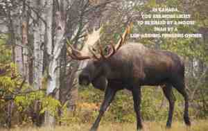 Vehicle collisions with moose are deadly