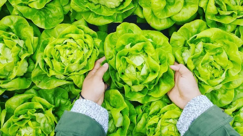 """""""person picking green cabbage"""" by PHÚC LONG on Unsplash"""