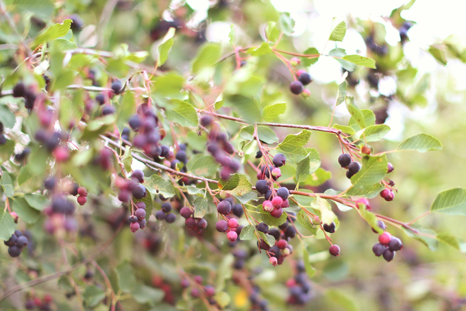 Abundant Saskatoon berry crop in rural Alberta, Canada | Where to pick Saskatoons in Alberta | Saskatoon Farm Calgary, Alberta, Canada | Gluten Free Saskatoon Citrus Banana Bread | Free of dairy, gluten and refined sugar and full of healthier, natural substitutions perfect for those with food allergies, intolerances or sensitivities | Best Saskatoon Berry Recipes | Calgary Clean Food Blogger, Recipe Developer and Food Stylist // JustineCelina.com