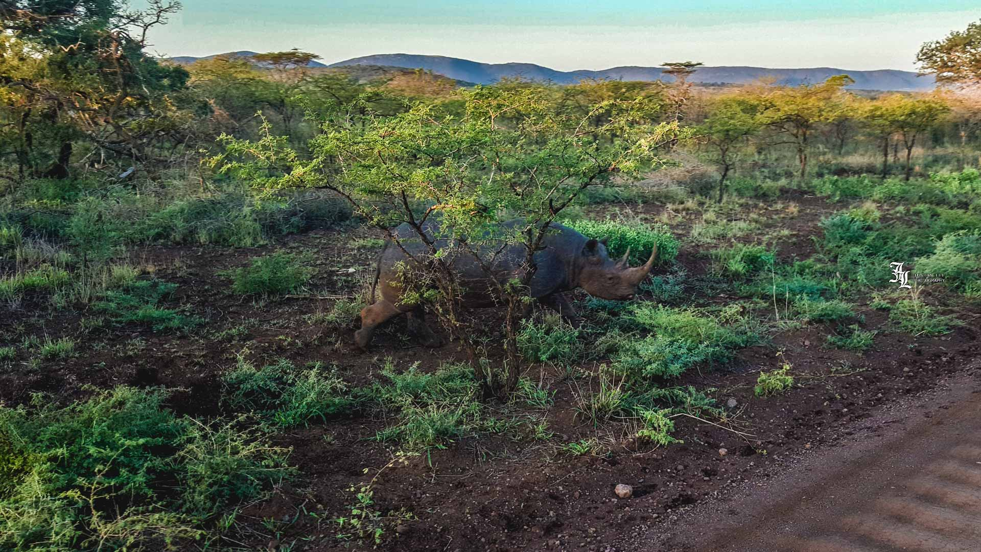 Such a special sight to see a full gown 2 ton male Black Rhino with it's horn still attached,