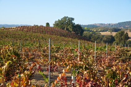 Colorful grapevines