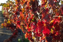 Grape vine leaves changing colors