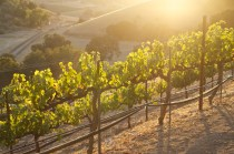 Sun setting through grape vines