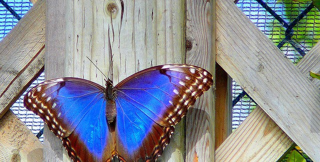 A bright blue butterfly on a wooden beam