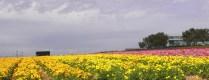 Flower fields10 (1 of 1)