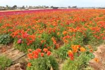Flower fields8 (1 of 1)