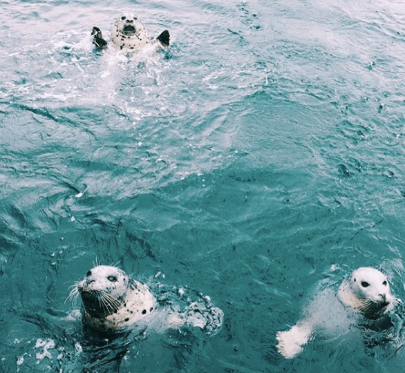 Seals at Fisherman's Wharf, Victoria BC