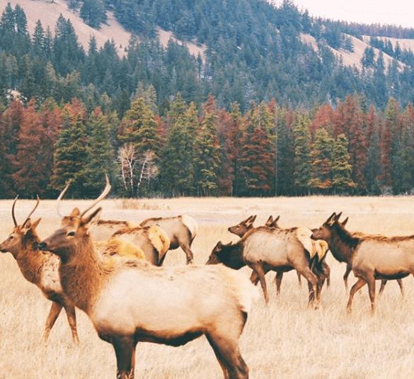 Elk Crossing, Jasper Alberta