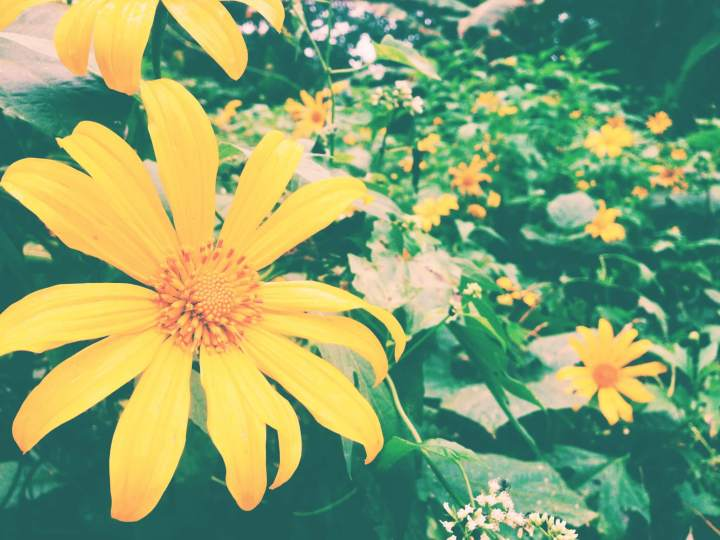 Gorgeous yellow flowers in Chiang Dao