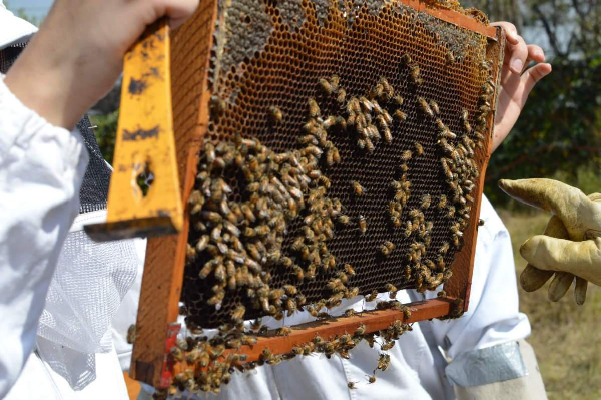 Bees on a Hive Frame   Beekeeping Experience in Mexico City