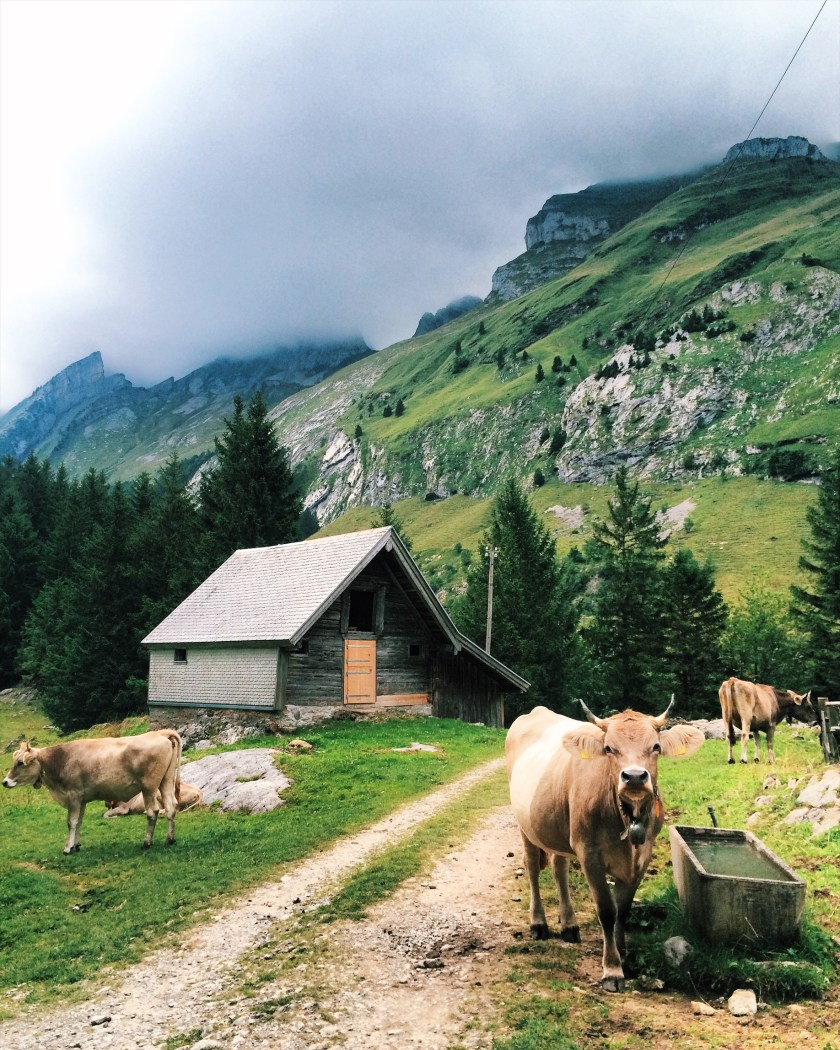 Cows standing in Appenzell, Switzerland
