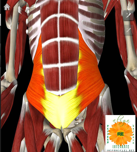 Illustration of transverse abdominus muscle