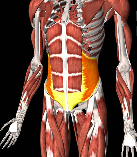 Illustration of transverse abdominus