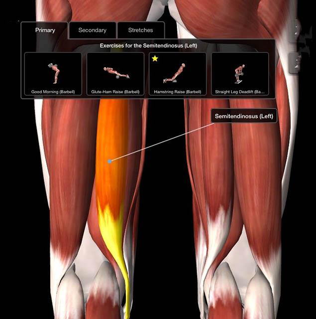 illustration of the semitendiosus muscle