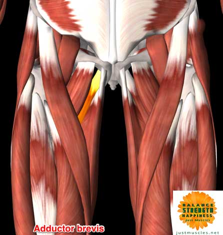 Image of illustration of adductor muscles brevis