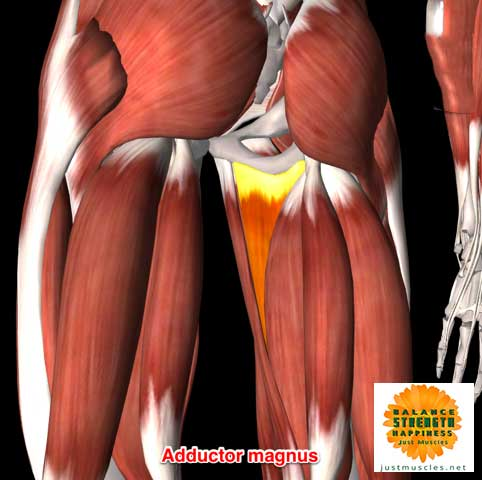 Image of illustration of adductor muscles magnus