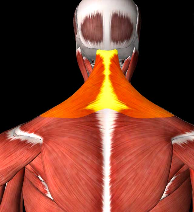 Image of an illustration of the trapezoid muscles