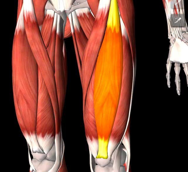 Illustration of the quad muscle